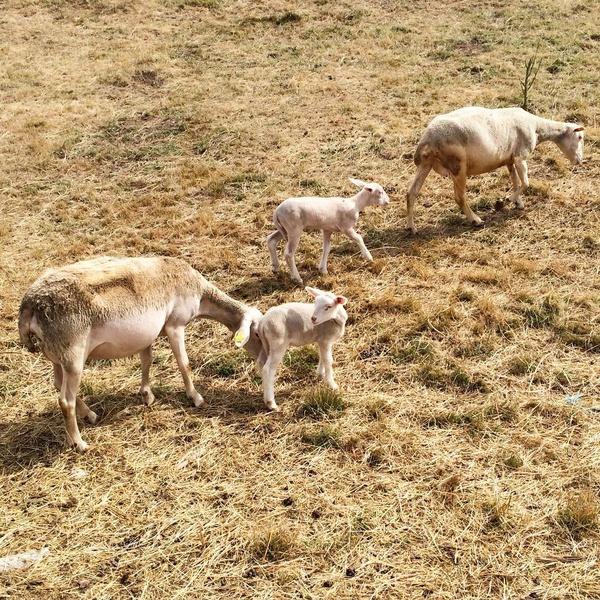 Moutons et agneaux