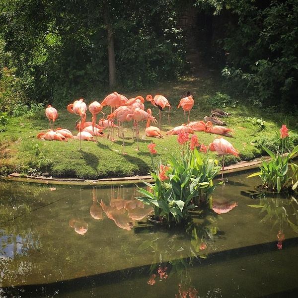 Flamants roses - Zoo de Toronto