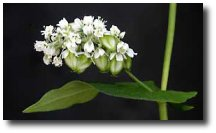 Fleur de coton organique